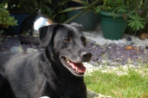 Patterdale Terrier x Collie